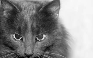 Как участвовать в выставках кошек
