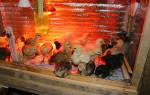 Температура для цыплят