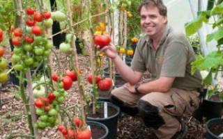 Выращивание помидор в ведрах