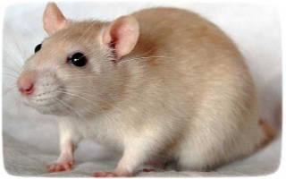 Лакомство для крыс