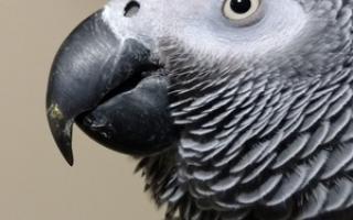 Попугай тяжело дышит