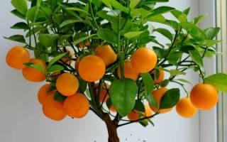Как выращивать апельсин