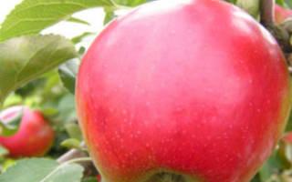 Яблоня афродита описание сорта