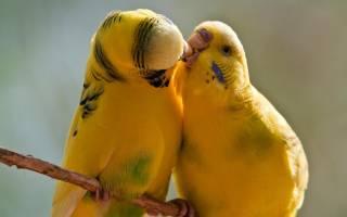 Волнистый попугай сколько живут