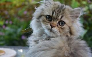Липидоз печени у кошек