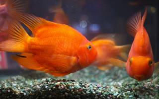 Попугаи аквариумные рыбки