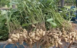 Арахис в сибири выращивание