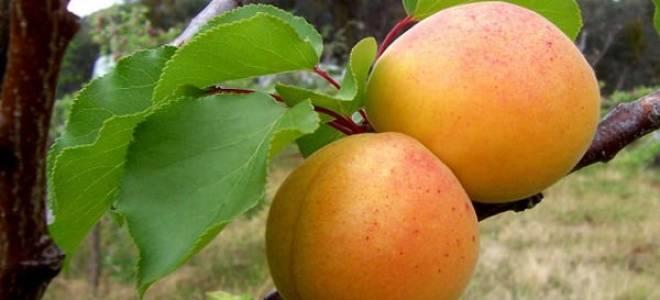 Персик и абрикос фото
