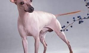 Перуанская орхидея инков собака