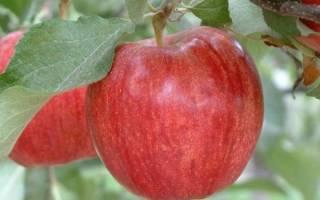 Гала яблоня описание сорта
