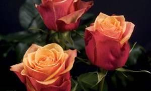Розы черри бренди