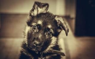 Поставить уши собаке