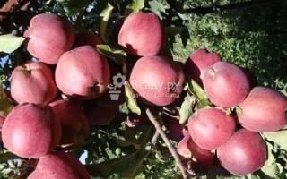 Сорт яблок старкримсон