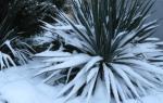 Уход за юккой осенью подготовка к зиме