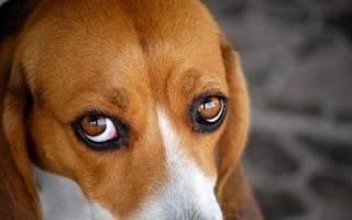 У собаки красные белки