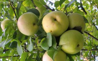 Кутузовец яблоня описание