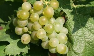 Самый морозостойкий сорт винограда