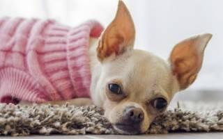 Как вызвать течку у собаки