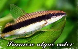 Водорослеед рыбка содержание