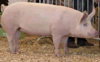 Русская порода свиней