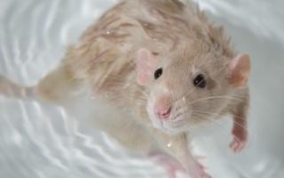 Можно ли купать крысу