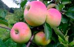 Сорт яблок имрус