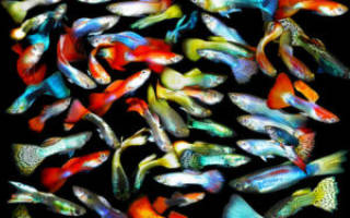 Рыбки аквариумные гуппи уход