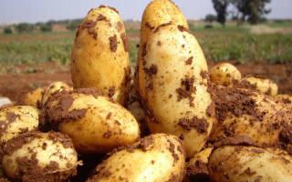 Сорт картофеля сорокодневка