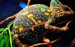 Как меняют цвет хамелеоны