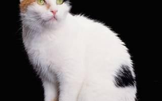 Почему кошки трехцветные