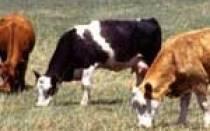 Корова мочится с кровью