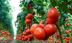 Сорт помидоров махитос