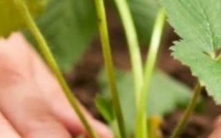 Что посадить после гороха