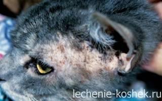 Заболевание кожи у кошек