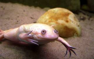 Лечение шпорцевых лягушек