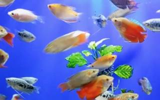 Лабиринтные рыбки для аквариума