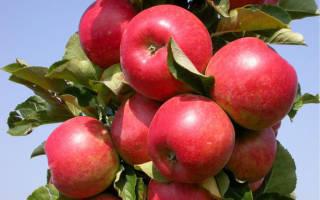 Колоновидные яблони для Подмосковья