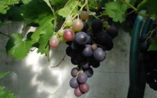 Вино из дикого винограда
