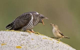 Какая птица подкладывает яйца в чужие гнезда