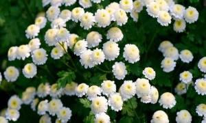 Хризантема девичья снежные шары