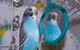 Нужно ли попугаю зеркало