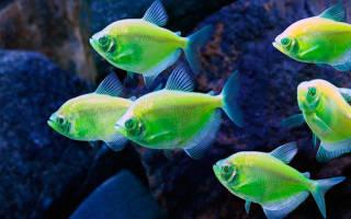 Светящиеся рыбки для аквариума