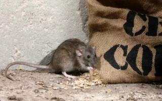 Как плодятся крысы