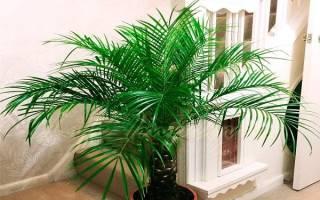 Пальма финик робелини
