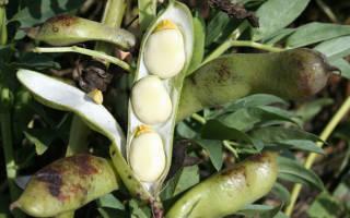 Как выращивать бобы