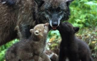 Забота о потомстве у волков