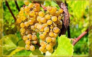 Виноград мускатные сорта