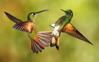 Интересные факты про колибри