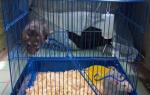 Что нужно для крысы