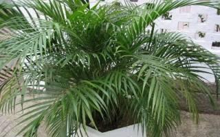 Финиковая пальма сколько растет